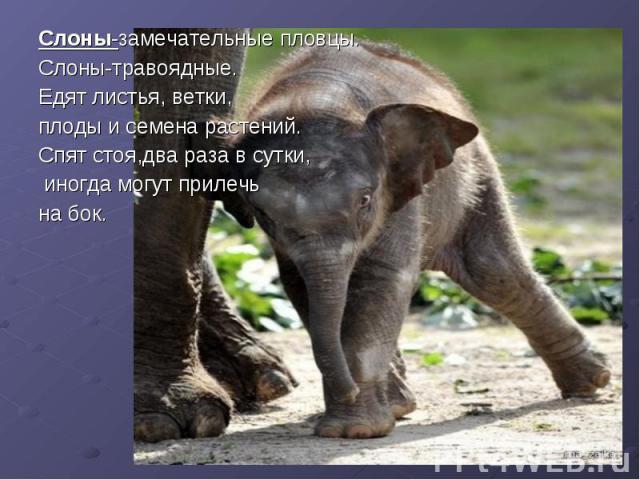 Слоны-замечательные пловцы. Слоны-замечательные пловцы. Слоны-травоядные. Едят листья, ветки, плоды и семена растений. Спят стоя,два раза в сутки, иногда могут прилечь на бок.