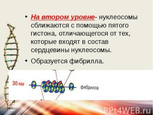 На втором уровне- нуклеосомы сближаются с помощью пятого гистона, отличающегося