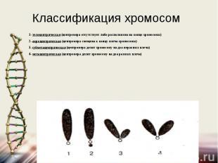 Классификация хромосом 1- телоцентрическая (центромера отсутствует либо располож