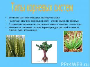 Все корни растения образуют корневую систему Все корни растения образуют корневу