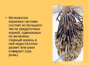 Мочковатая корневая система состоит из большого числа придаточных корней, одинак