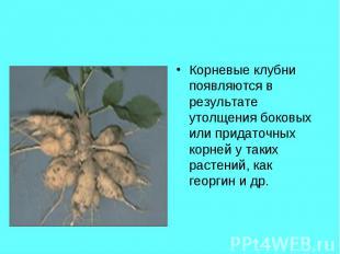 Корневые клубни появляются в результате утолщения боковых или придаточных корней