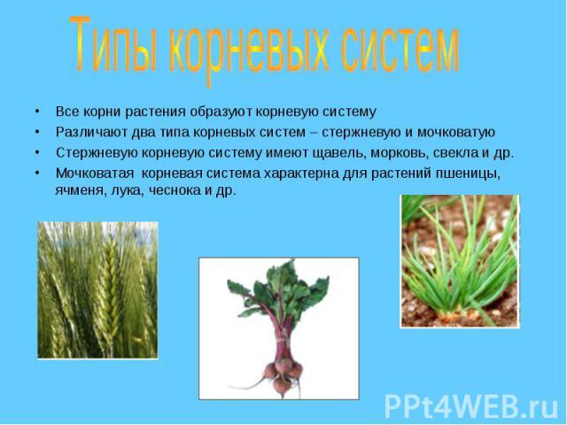 Все корни растения образуют корневую систему Все корни растения образуют корневую систему Различают два типа корневых систем – стержневую и мочковатую Стержневую корневую систему имеют щавель, морковь, свекла и др. Мочковатая корневая система характ…