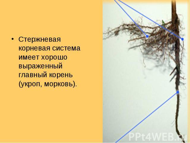 Стержневая корневая система имеет хорошо выраженный главный корень (укроп, морковь). Стержневая корневая система имеет хорошо выраженный главный корень (укроп, морковь).