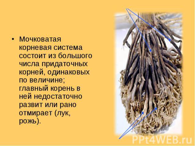 Мочковатая корневая система состоит из большого числа придаточных корней, одинаковых по величине; главный корень в ней недостаточно развит или рано отмирает (лук, рожь). Мочковатая корневая система состоит из большого числа придаточных корней, одина…