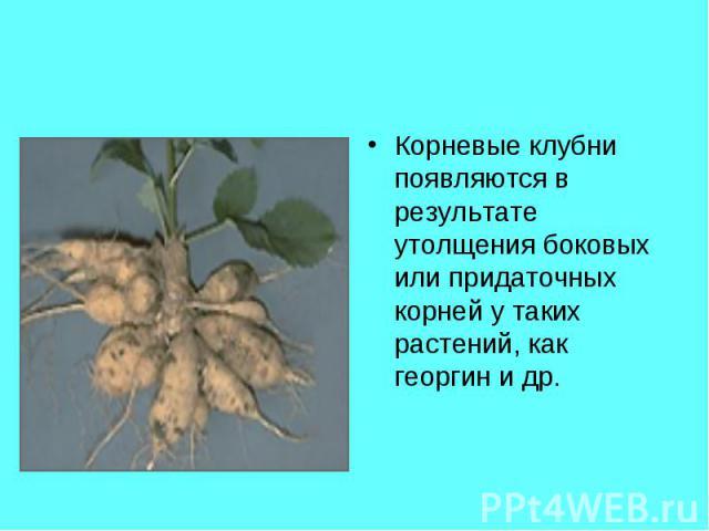 Корневые клубни появляются в результате утолщения боковых или придаточных корней у таких растений, как георгин и др. Корневые клубни появляются в результате утолщения боковых или придаточных корней у таких растений, как георгин и др.