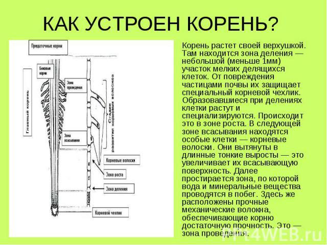 Корень растет своей верхушкой. Там находится зона деления— небольшой (меньше 1мм) участок мелких делящихся клеток. Отповреждения частицами почвы их защищает специальный корневой чехлик. Образовавшиеся при делениях клетки растут и специал…