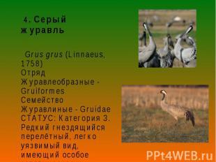 4. Серый журавль 4. Серый журавль Grus grus (Linnaeus, 1758) Отряд Журавлеобразн