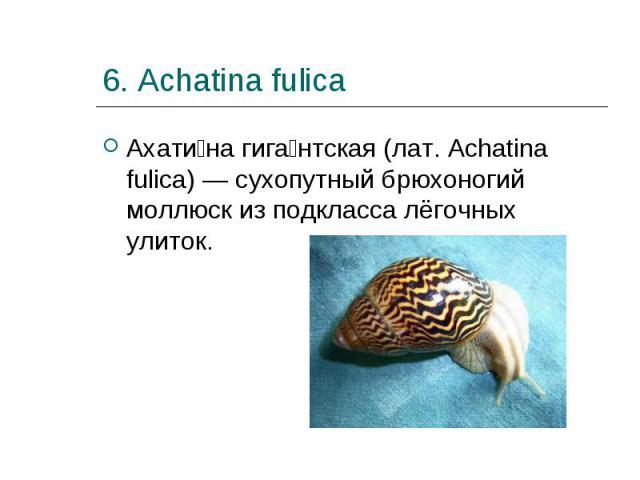 Ахати на гига нтская (лат. Achatina fulica) — сухопутный брюхоногий моллюск из подкласса лёгочных улиток. Ахати на гига нтская (лат. Achatina fulica) — сухопутный брюхоногий моллюск из подкласса лёгочных улиток.