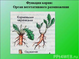 Функции корня: Орган вегетативного размножения Функции корня: Орган вегетативног