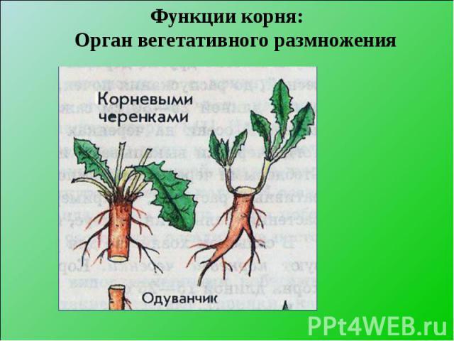 Функции корня: Орган вегетативного размножения Функции корня: Орган вегетативного размножения