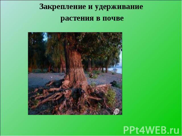 Закрепление и удерживание Закрепление и удерживание растения в почве