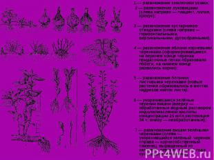 1 — размножение земляники усами; 1 — размножение земляники усами; 2 — размножени