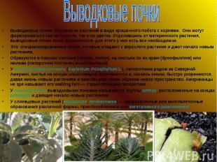 Выводковые почки- это зачатки растений в виде крошечного побега с корнями. Они м
