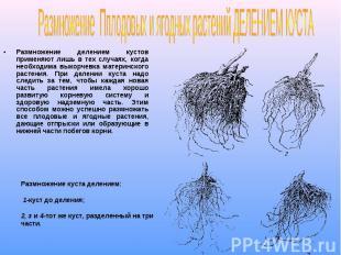 Размножение делением кустов применяют лишь в тех случаях, когда необходима выкор