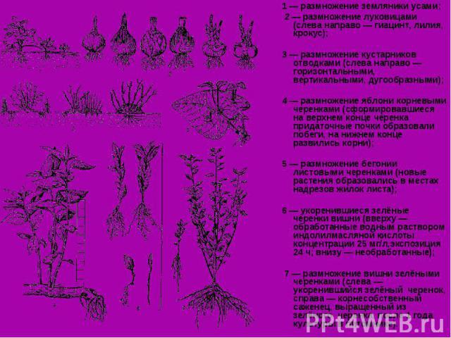 1 — размножение земляники усами; 1 — размножение земляники усами; 2 — размножение луковицами (слева направо — гиацинт, лилия, крокус); 3 — размножение кустарников отводками (слева направо — горизонтальными, вертикальными, дугообразными); 4 — размнож…