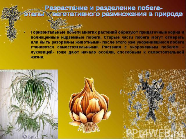 Горизонтальные побеги многих растений образуют придаточные корни и полноценные надземные побеги. Старые части побега могут отмереть или быть разорваны животными- после этого уже укоренившиеся побеги становятся самостоятельными. Растения с укороченны…