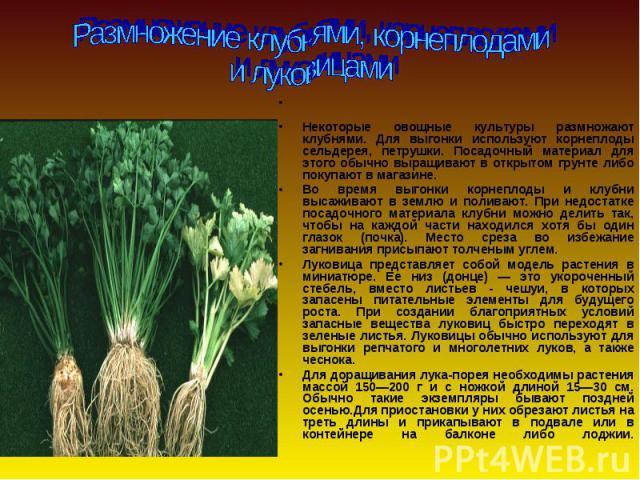 Некоторые овощные культуры размножают клубнями. Для выгонки используют корнеплоды сельдерея, петрушки. Посадочный материал для этого обычно выращивают в открытом грунте либо покупают в магазине. Во время выгонки корнеплоды и клубни высаживают в земл…