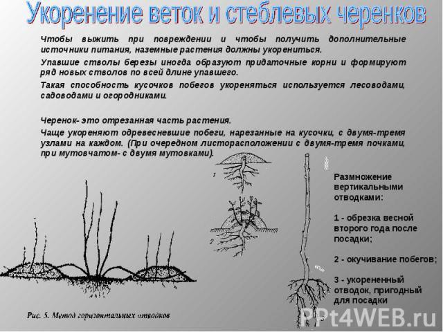 Чтобы выжить при повреждении и чтобы получить дополнительные источники питания, наземные растения должны укорениться. Чтобы выжить при повреждении и чтобы получить дополнительные источники питания, наземные растения должны укорениться. Упавшие ствол…