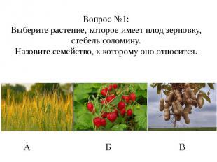 Вопрос №1: Выберите растение, которое имеет плод зерновку, стебель соломину. Наз
