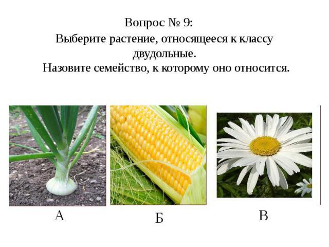 Выберите растение, относящееся к классу двудольные. Назовите семейство, к которому оно относится.