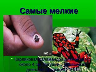 Карликовая саламандра длиной всего около 4 см. Лягушки – древолазы длина не прев