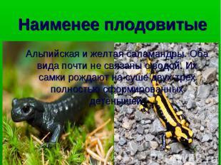 Альпийская и желтая саламандры. Оба вида почти не связаны с водой. Их самки рожд