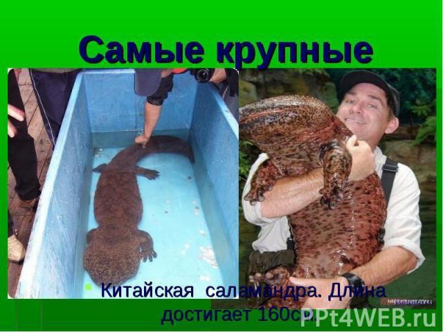 Китайская саламандра. Длина достигает 160см.