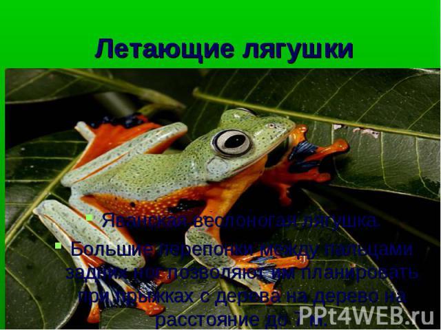 Яванская веслоногая лягушка. Большие перепонки между пальцами задних ног позволяют им планировать при прыжках с дерева на дерево на расстояние до 7 м.