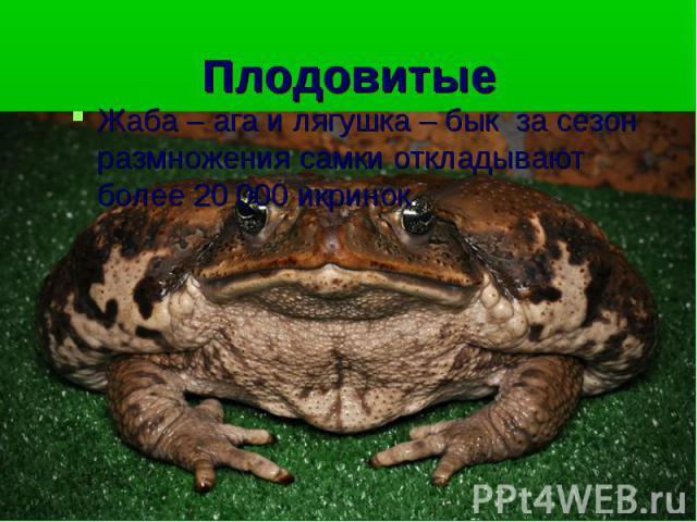 Жаба – ага и лягушка – бык за сезон размножения самки откладывают более 20 000 икринок. Жаба – ага и лягушка – бык за сезон размножения самки откладывают более 20 000 икринок.