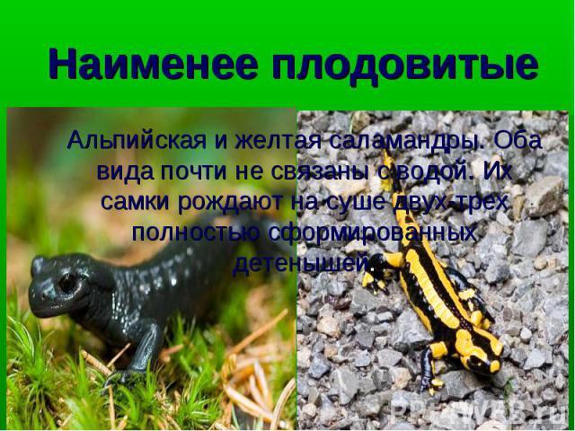 Альпийская и желтая саламандры. Оба вида почти не связаны с водой. Их самки рождают на суше двух-трех полностью сформированных детенышей. Альпийская и желтая саламандры. Оба вида почти не связаны с водой. Их самки рождают на суше двух-трех полностью…