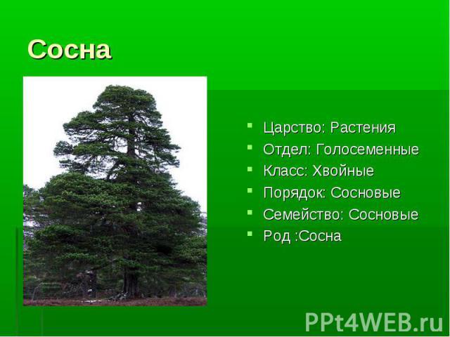 Царство: Растения Отдел: Голосеменные Класс: Хвойные Порядок: Сосновые Семейство: Сосновые Род :Сосна