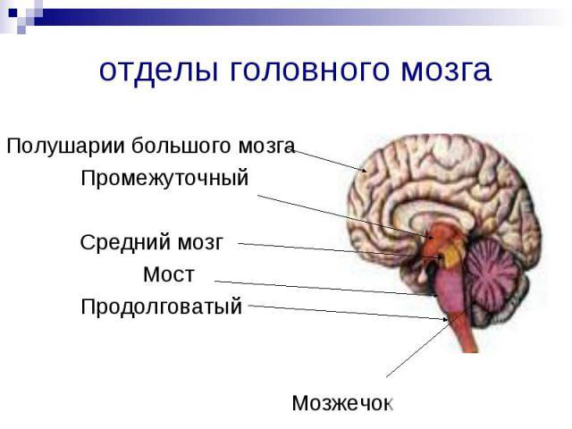 Полушарии большого мозга Промежуточный Средний мозг Мост Продолговатый Мозжечок