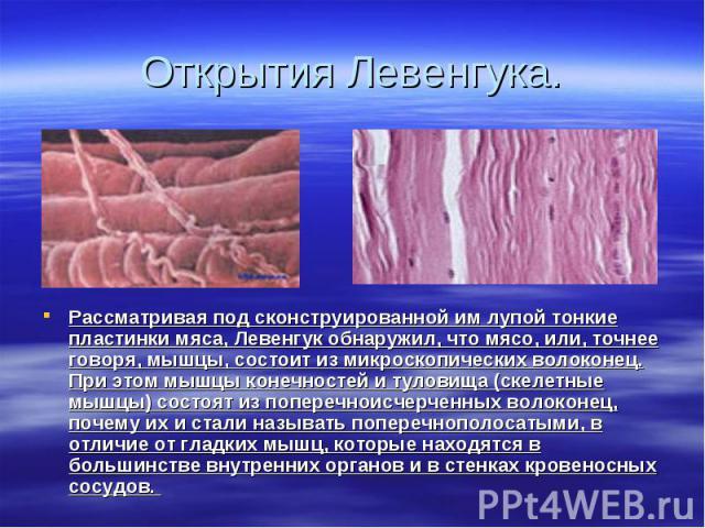 Рассматривая под сконструированной им лупой тонкие пластинки мяса, Левенгук обнаружил, что мясо, или, точнее говоря, мышцы, состоит из микроскопических волоконец. При этом мышцы конечностей и туловища (скелетные мышцы) состоят из поперечноисчерченны…