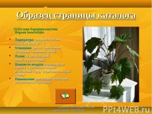 10.Бегония борщевиколистная Begonia heracleifolia 10.Бегония борщевиколистная Be