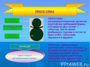 РИБОСОМЫ – ультрамикроскопические органеллы округлой или грибовидной формы, сост