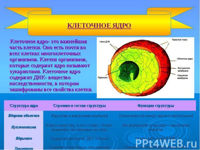 Клеточное ядро- это важнейшая часть клетки. Оно есть почти во всех клетках многоклеточных организмов. Клетки организмов, которые содержат ядро называют эукариотами. Клеточное ядро содержит ДНК- вещество наследственности, в котором зашифрованы все св…