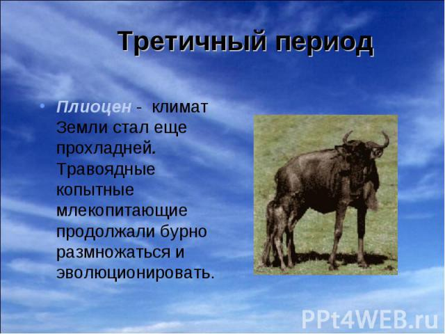 Плиоцен - климат Земли стал еще прохладней. Травоядные копытные млекопитающие продолжали бурно размножаться и эволюционировать. Плиоцен - климат Земли стал еще прохладней. Травоядные копытные млекопитающие продолжали бурно размножаться и эволюционировать.