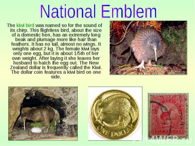 The kiwi bird was named so for the sound of its chirp. This flightless bird, about the size of a domestic hen, has an extremely long beak and plumage more like hair than feathers. It has no tail, almost no wings. It weights about 2 kg. The female ki…