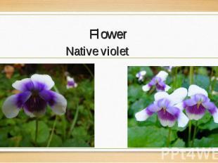 Native violet Native violet