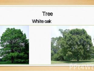 White oak White oak