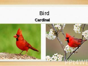 Cardinal Cardinal