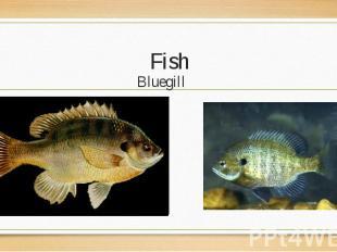 Bluegill Bluegill