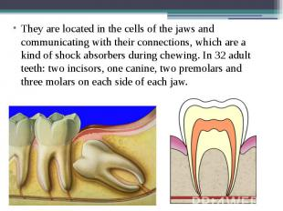 They are located in the cells of the jaws and communicating with their connectio