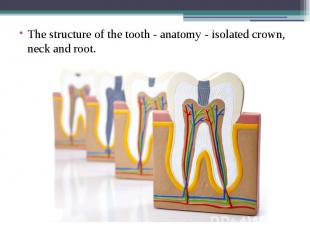 The structure of the tooth - anatomy - isolated crown, neck and root. The struct