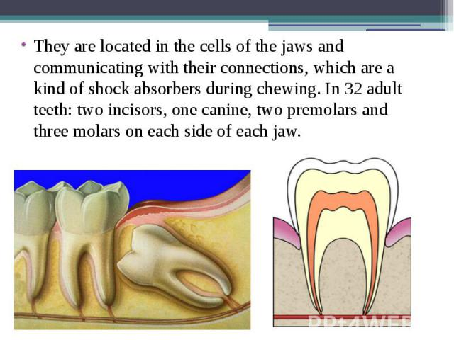 They are located in the cells of the jaws and communicating with their connections, which are a kind of shock absorbers during chewing. In 32 adult teeth: two incisors, one canine, two premolars and three molars on each side of each jaw. They are lo…