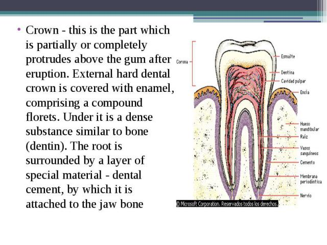 Crown - this is the part which is partially or completely protrudes above the gum after eruption. External hard dental crown is covered with enamel, comprising a compound florets. Under it is a dense substance similar to bone (dentin). The root is s…