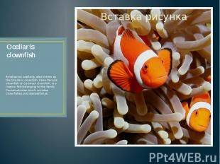 Ocellaris clownfish Amphiprion ocellaris, also known as the Ocellaris clownfish,