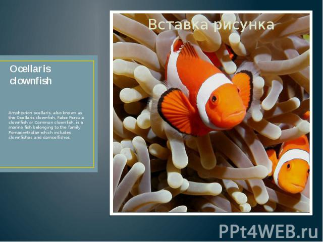 Ocellaris clownfish Amphiprion ocellaris, also known as the Ocellaris clownfish, False Percula clownfish or Common clownfish, is a marine fish belonging to the family Pomacentridae which includes clownfishes and damselfishes.