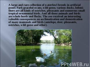 A large and rare collection of waterfowl breeds in artificial ponds Park gracefu